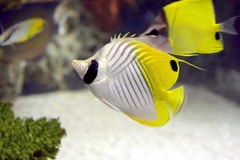 Peixes do anjo Fotografia de Stock