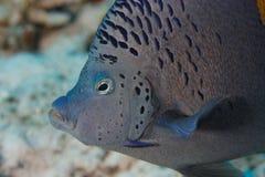 Peixes do anjo (asfur) do Pomacanthus - Mar Vermelho Fotografia de Stock Royalty Free