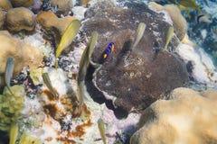 Peixes do anjo azul e grunhido francês Imagens de Stock Royalty Free