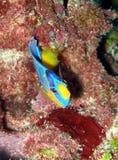 Peixes do anjo da rainha do bebê Fotografia de Stock