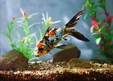 Peixes do aquário Fotos de Stock Royalty Free