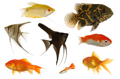 Peixes do aquário Imagem de Stock Royalty Free