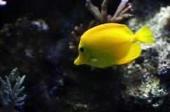Peixes do aquário Imagem de Stock