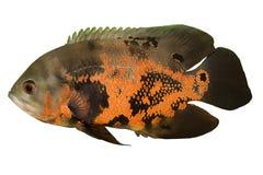 Peixes do aquário. Foto de Stock