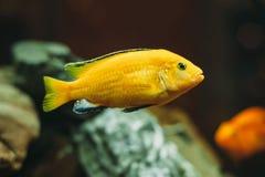 Peixes do aquário - Cichlidae Imagem de Stock