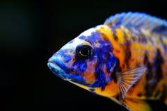 Peixes do aquário da cichlidae de Malawi do africano de água doce foto de stock royalty free