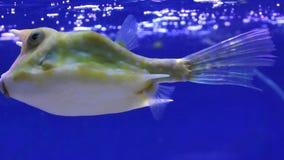 Peixes do aquário da vaca dos peixes grandes filme