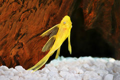 Peixes do aquário de Plecostomus do dolichopterus de Ancistrus do ouro do pleco do Cerda-nariz do albino do peixe-gato de Pleco Fotografia de Stock