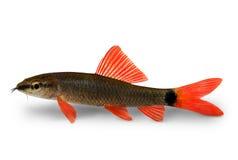 Peixes do aquário do frenatum de Epalzeorhynchos do peixe-gato do tubarão do arco-íris isolados no branco Fotos de Stock Royalty Free