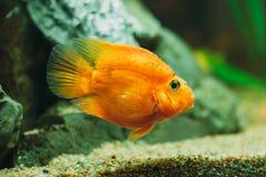 Peixes do aquário - peixe dourado Fotografia de Stock Royalty Free