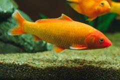 Peixes do aquário - peixe dourado Foto de Stock