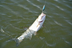 Peixes do Asp Foto de Stock