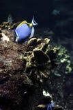 Peixes do azul de céu Fotos de Stock