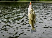 Peixes do baixo listrado travados na linha imagens de stock