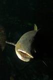 Peixes do Cobia Imagem de Stock