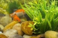 peixes do colourfull do aquário na água Foto de Stock Royalty Free