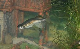 Peixes do Danio do leopardo Foto de Stock