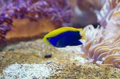 Peixes do Demoiselle de Starck Imagens de Stock