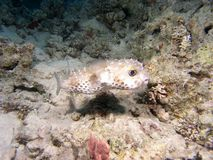 Peixes do Diodon Foto de Stock