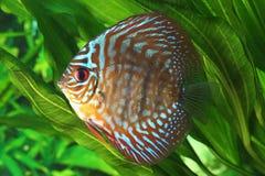 Peixes do disco de Symphysodon fotos de stock