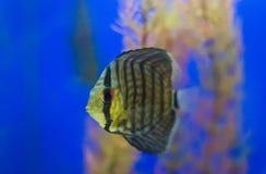Peixes do disco no aquário foto de stock