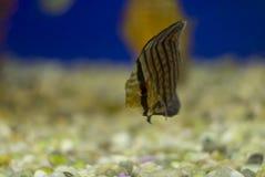 Peixes do disco no aquário Devido a seus forma e b distintivos fotografia de stock