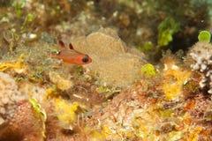 Peixes do esquilo de Juvenil Fotografia de Stock
