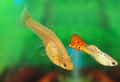 Peixes do guppy Fotografia de Stock