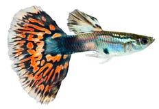 Peixes do Guppy (reticulata de Poecilia) Fotografia de Stock