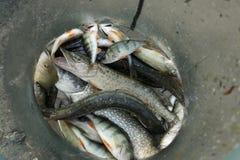 Peixes do lago na gaiola Imagem de Stock Royalty Free