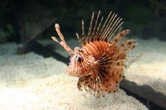 Peixes do leão Fotos de Stock Royalty Free