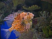 Peixes do leão Fotografia de Stock