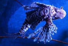 Peixes do leão Imagem de Stock Royalty Free