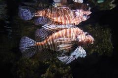 Peixes do leão Foto de Stock