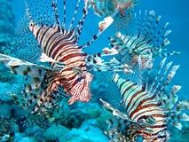 Peixes do leão foto de stock royalty free