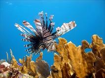 Peixes do leão, inoperante predador Fotografia de Stock Royalty Free