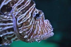 Peixes do leão na água Imagem de Stock