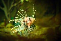 Peixes do leão no aquário Imagem de Stock