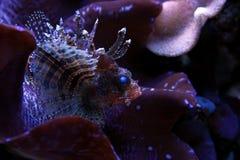 Peixes do leão no aquário marinho Imagem de Stock