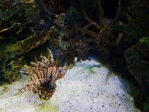 Peixes do leão no recife coral fotografia de stock royalty free