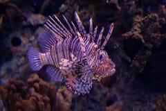 Peixes do leão imagens de stock royalty free