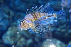 Peixes do leão Fotos de Stock