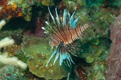 Peixes do leão com recife coral Fotos de Stock Royalty Free