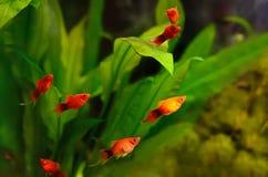 Peixes do maculatus de Xiphophorus Fotografia de Stock