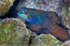 Peixes do mandarino Foto de Stock