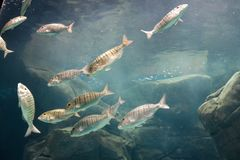 Peixes do mar selvagens em Cretaquarium imagens de stock royalty free