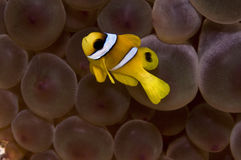 Peixes do nemo do bebê foto de stock