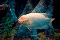 Peixes do oceano Foto de Stock Royalty Free