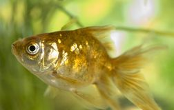 Peixes do ouro Imagem de Stock Royalty Free