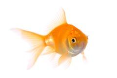 Peixes do ouro Fotografia de Stock Royalty Free